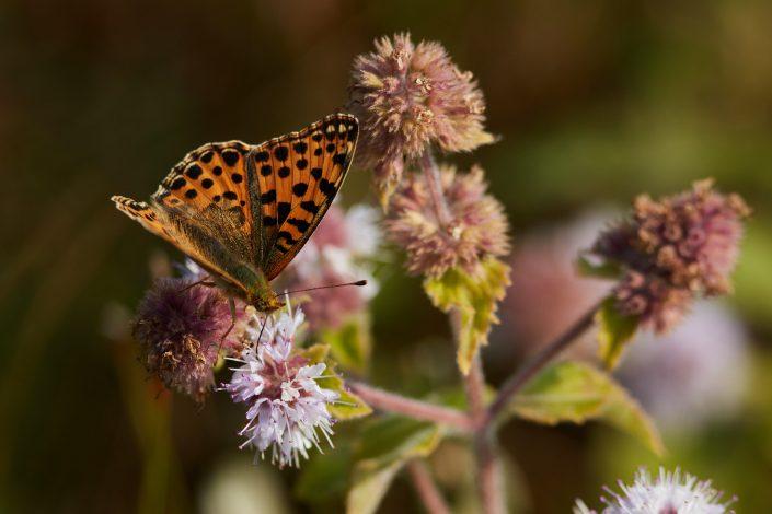Een mooie vlinder op watermunt in de duinen van Egmond